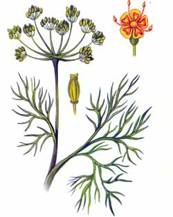 Укроп пахучий (Anethum graveolens)