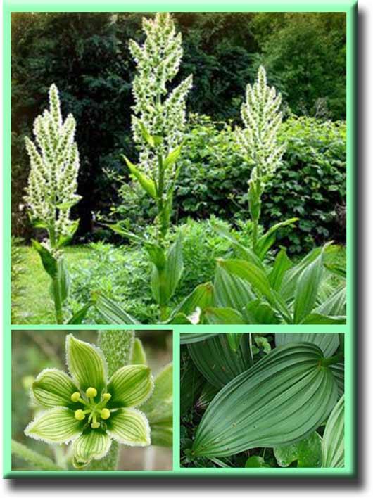растение чемерица