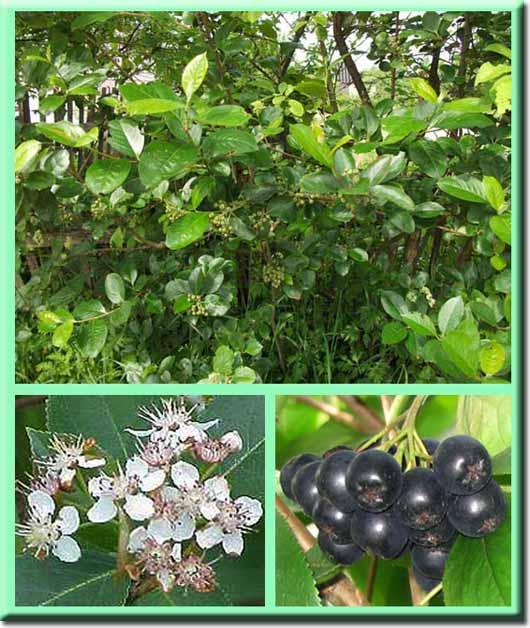 Черноплодная или черноплодная рябина