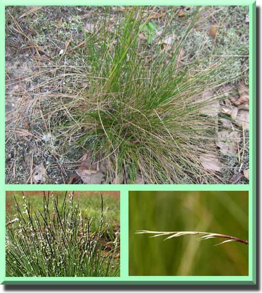 трава белоус фото