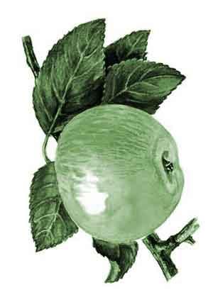 Магические свойства яблони